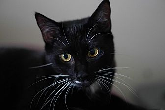Domestic Shorthair Cat for adoption in Baltimore, Maryland - Jameson