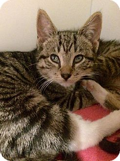 Domestic Shorthair Kitten for adoption in Brooklyn, New York - Jupiter