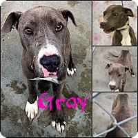 Adopt A Pet :: Gray - California City, CA