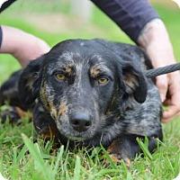 Adopt A Pet :: Paul Simon - Brooklyn, NY