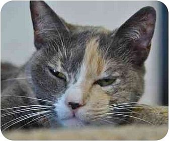 Calico Cat for adoption in Los Angeles, California - Spicy