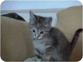 Domestic Shorthair Kitten for adoption in Erie, Pennsylvania - Holly