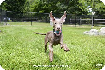 Weimaraner Puppy for adoption in Brooklyn, New York - Norman