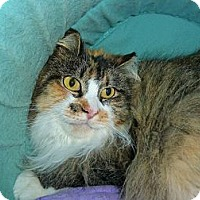 Calico Cat for adoption in Carmel, New York - Cassie Mae