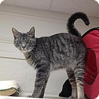 Domestic Shorthair Cat for adoption in Webster, Massachusetts - Frida
