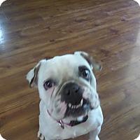 Adopt A Pet :: Lily Lou - Cibolo, TX