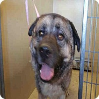 Adopt A Pet :: A453600 - In Danger at Moreno Valley Shelter - Beverly Hills, CA