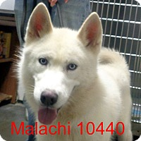 Adopt A Pet :: Malachi - baltimore, MD