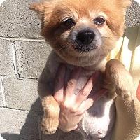 Adopt A Pet :: Sable - Pompton Lakes, NJ
