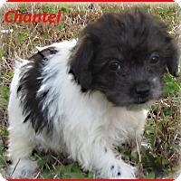 Adopt A Pet :: Chantel- Adoption Pending - Marlborough, MA