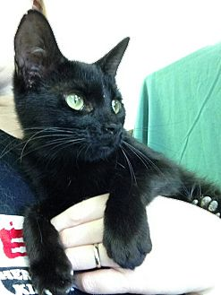 Domestic Shorthair Cat for adoption in Houston, Texas - SABLE