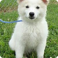 Adopt A Pet :: I'M ADPTD Marshmallow Fluff Ni - Oswego, IL