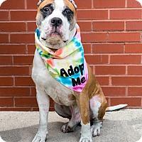 Adopt A Pet :: PinkMan - Brooklyn, NY