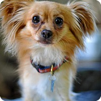 Adopt A Pet :: Prince Phillip - urgent foster needed! - Milpitas, CA