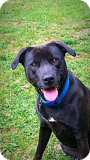 Labrador Retriever/American Staffordshire Terrier Mix Dog for adoption in West Des Moines, Iowa - Mya