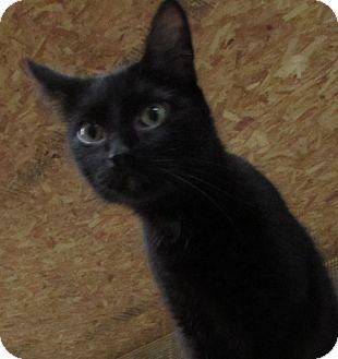 Domestic Shorthair Cat for adoption in Jackson, Missouri - SARAH