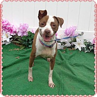 American Pit Bull Terrier Mix Dog for adoption in Marietta, Georgia - LUCINDA