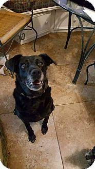 Labrador Retriever Dog for adoption in Frisco, Texas - Mustang Sally