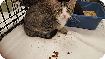 Domestic Shorthair Kitten for adoption in Berkeley Hts, New Jersey - Madison