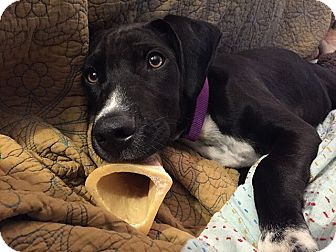 Labrador Retriever/Shepherd (Unknown Type) Mix Dog for adoption in Austin, Texas - Khloe