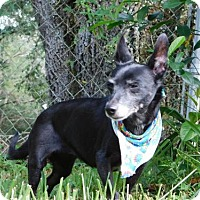 Chihuahua/Dachshund Mix Dog for adoption in Tampa, Florida - Babie (TH)