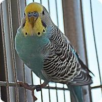 Adopt A Pet :: Bandit - Burlingame, CA