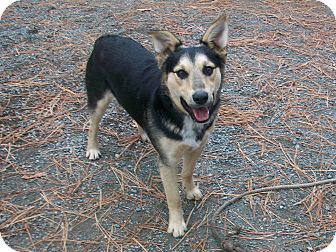 German Shepherd Dog/Australian Shepherd Mix Dog for adoption in Chewelah, Washington - Rusty