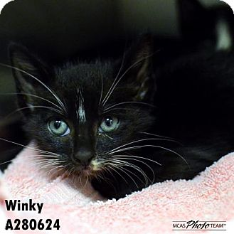 Domestic Mediumhair Kitten for adoption in Conroe, Texas - WINKY