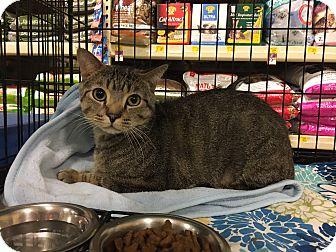 Domestic Shorthair Cat for adoption in Barrington Hills, Illinois - Hunter