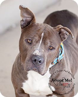 American Staffordshire Terrier/American Pit Bull Terrier Mix Dog for adoption in Medina, Ohio - Mercy