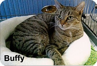 Domestic Shorthair Cat for adoption in Medway, Massachusetts - Buffy