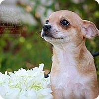 Adopt A Pet :: Chloe - Albany, NY