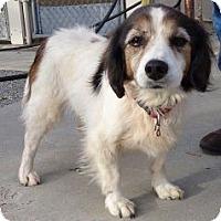 Adopt A Pet :: Alexis (Very Urgent) - Brattleboro, VT