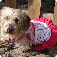 Adopt A Pet :: ROSIE the WIREHAIR - Portland, OR