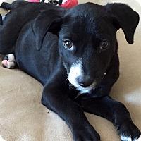 Adopt A Pet :: Sophie - North Bend, WA