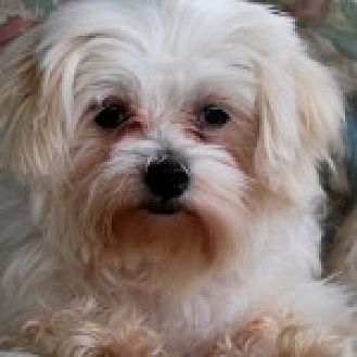Maltese Mix Dog for adoption in Jacksonville, Florida - Elsie
