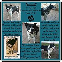 Adopt A Pet :: Bandit - Boulder, CO