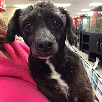 Poodle (Miniature) Mix Dog for adoption in Fresno, California - Rebel