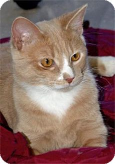 Domestic Shorthair Kitten for adoption in Waupaca, Wisconsin - Rolly
