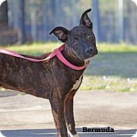 Adopt A Pet :: Bermuda - Old Saybrook, CT