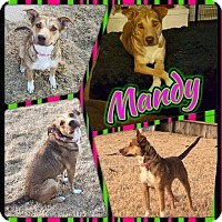 German Shepherd Dog/Labrador Retriever Mix Dog for adoption in Austin, Texas - Mandy
