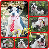 Adopt A Pet :: PETEY - Ft Worth, TX