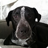 Australian Cattle Dog/Labrador Retriever Mix Dog for adoption in Manchester, New Hampshire - Timmy