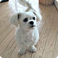 Adopt A Pet :: Ukie - Spring Lake, NJ