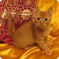 Adopt A Pet :: Wilykat - St. Louis, MO