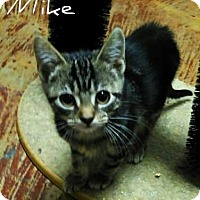 Domestic Shorthair Kitten for adoption in Laplace, Louisiana - Mike