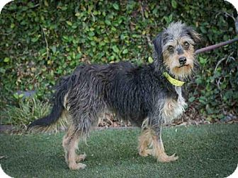 Australian Terrier/Terrier (Unknown Type, Small) Mix Dog for adoption in Encino, California - Marygold
