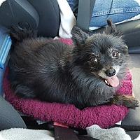 Adopt A Pet :: PoPo - Summerville, SC
