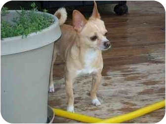 Chihuahua Dog for adoption in Johnsburg, Illinois - Noah