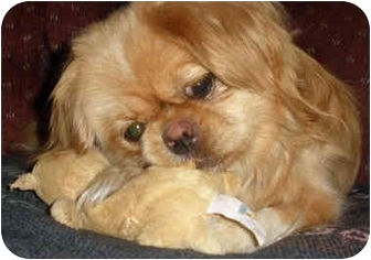 Pekingese Dog for adoption in Edmeston, New York - Peaches-NY
